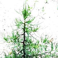 Трава солянка холмовая