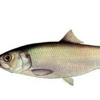 Какие витамины есть в рыбе