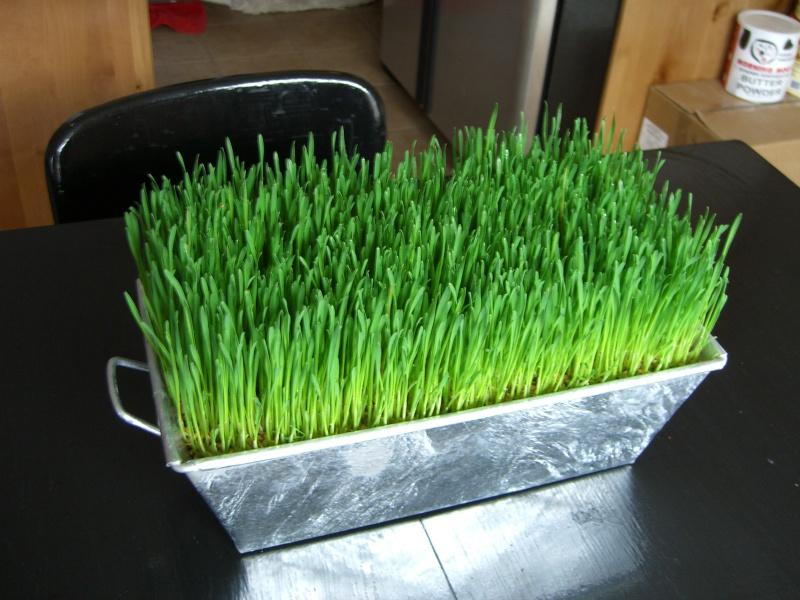 Как в домашних условиях посадить пшеницу в 746